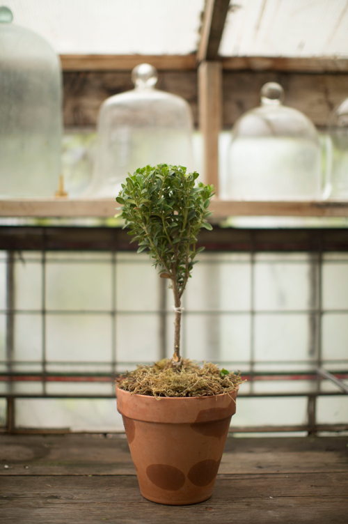 boxwood topiary tutorial