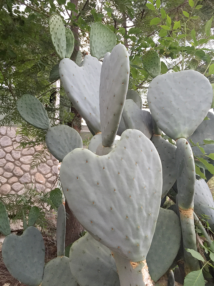 Heart shaped cactus