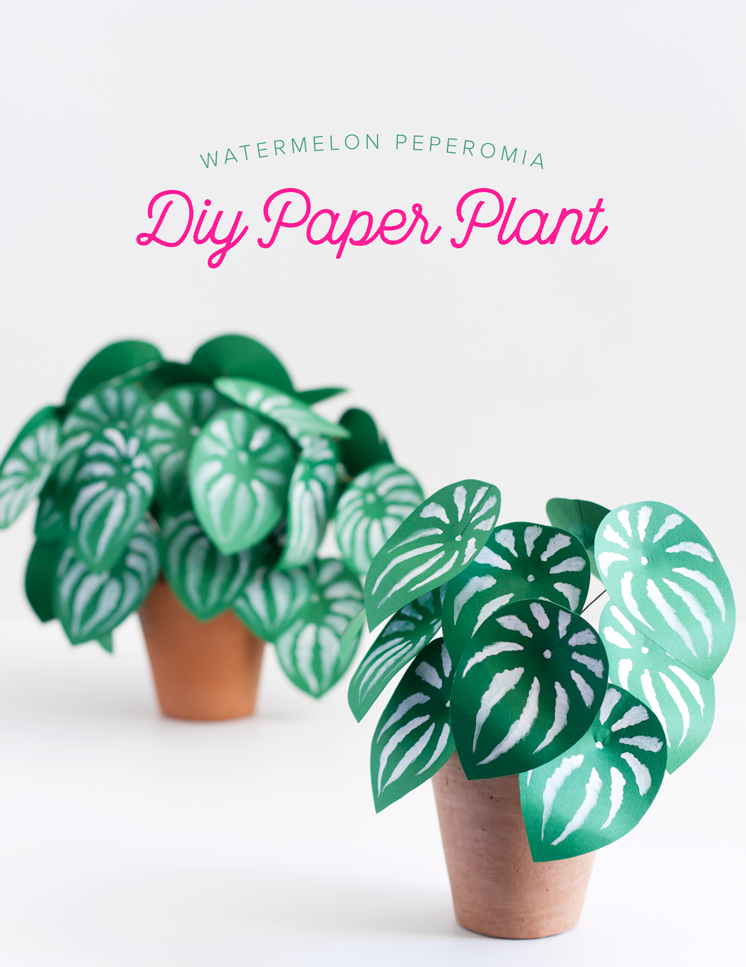 houselarsbuilt_paperplant_watermelonpeperomia_9