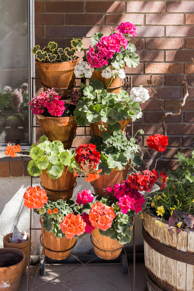 A display of geraniums in terracotta pots
